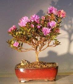 "The World of Real Bonsai by Oxemegifts.com-This dwarf rhododendron is a dense evergreen and is noted for its large trusses of showy purple azalea-like flowers. It has very small blue-green leaves which turn bronze in winter. New growth is bluish-green. Evergreen. Keep outdoors.7 years old, 12"" tall.Outdoor evergreen bonsai tree, grown and trained by Bonsai BoySuitable humidity/drip tray is recommended. To purchase add Added recommended Humidity/Drip Tray"