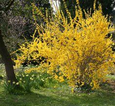 Forsythie in einem großen Garten