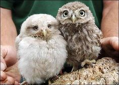Funny Animal Pictures - View our collection of cute and funny pet videos and pics. New funny animal pictures and videos submitted daily. Baby Owls, Cute Baby Animals, Owl Babies, Beautiful Owl, Animals Beautiful, Owl Bird, Pet Birds, Cute Creatures, Beautiful Creatures