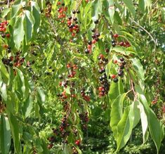nc tree - Black Cherry Black Cherry Tree, Weeping Cherry Tree, Tree Life Cycle, Cherry Plant, Tree Identification, Butterfly Bush, Plant Cuttings, Plant Images, 1 Live