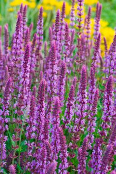 Genus: Salvia nemorosa Zones: 4-9 Bloom time: Continuous, April through September. To prune: Snip the faded flower spikes down to side branches, or nodes. Good to know: The purple blossoms will also attract butterflies.