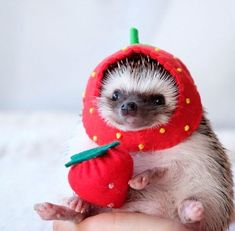 Baby hedgehog, pygmy hedgehog, cute little animals, cute animal pictures,. Baby Animals Pictures, Cute Animal Photos, Funny Animal Pictures, Animals And Pets, Baby Animals Super Cute, Cute Little Animals, Cute Funny Animals, Hedgehog Pet, Cute Hedgehog