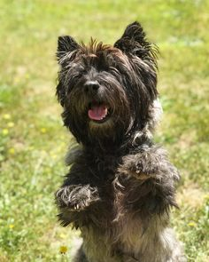 Cairn Terriers, Cairns, Puppy Love, Dancing, Puppies, Bear, Dogs, Animals, Pets