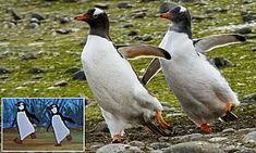 Penguins mimic table-serving birds that danced with Dick Van Dyke in Mary Poppins Mary Poppins, Mail Online, Daily Mail, Penguins, Wildlife, Van, Birds, Table, Animals