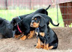 Slovenský Kopov (Slovensky Kopov) Slovakian Slovak Hound or Black Forest Hound #Dog Hound Puppies, Hound Dog, Purebred Dogs, Dobermans, Dog List, Black Forest, Dog Breeds, Hunting, Animals