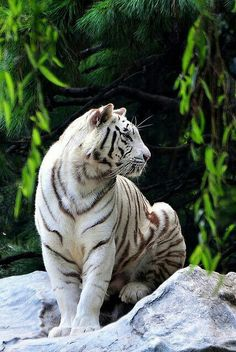The america white tiger Bengalischer Tiger, Tiger Cubs, Bear Cubs, Bengal Tiger, Snow Tiger, Nature Animals, Animals And Pets, Beautiful Cats, Animals Beautiful