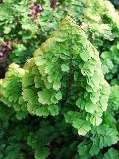 Adiantum raddianum 'Lady Geneva' - Maidenhair Fern