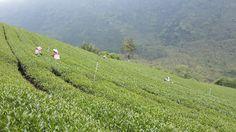 2014 Spring Oolong Tea field @ Taiwan Mount Ali