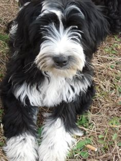 Tibetan Terriers: Smart, Intensely loyal, Kind-hearted,