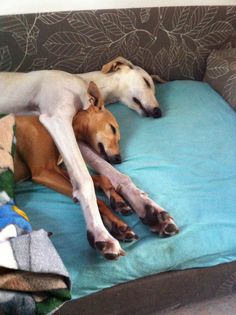 ~ <3 Greyhound love ~