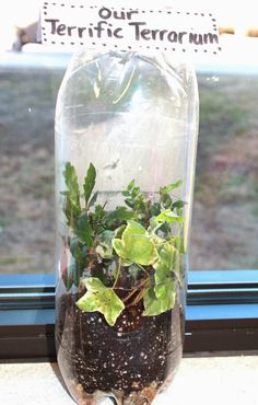 First Grade Wow: Terrific Terrariums!
