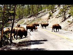 Yellostone Nat'l Park- Bison have the right of way!