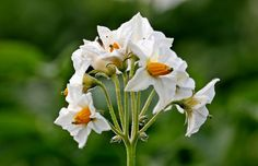 Fiori Di Patata, Di Patate, Solanum Tuberosum, Fiori Potato Tattoo, Potatoes, Rose, Flowers, Plants, Pink, Potato, Plant, Roses