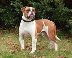Brown and white American Bulldog, awesomeness
