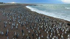Más de un millón de pingüinos colman la reserva de Punta Tombo en la provincia de Chubut, Argentina