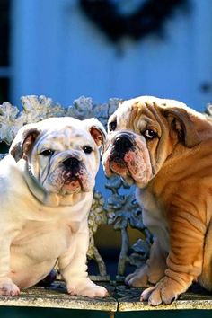 Two bulldogs and a pear tree