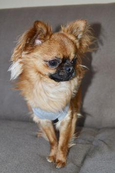 Chihuahua en mode look Oh Pacha - Minichihuahua.fr