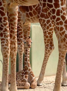 Baby giraffes!  I can't handle them! <3