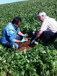 Chef #VickyRatnani - Digging Potatoes.  Ray Keenan of Rollo Bay Holdings talks about PEI potatoes and shows Chef Vicky how to dig them out of the dirt.Ray Keenan of Rollo Bay Holdings talks about PEI potatoes and shows Chef Vicky how to dig them out of the dirt.