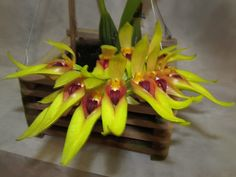 Orchid: Bulbophyllum graveolens
