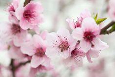 Cherry Blossom Painting Japanese Cherry Blossom Flower Japanese Cherry