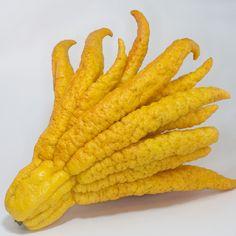 The Buddhas Hand Fruit / The Fingered Citron: Citrus medica var. Photo By Kaldari Weird Fruit, Strange Fruit, Weird Food, Strange Foods, Fruit And Veg, Fruits And Vegetables, Buddhas Hand, Fast Growing Trees, Beautiful Fruits