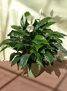 The peace lily is a great indoor tropical flower. Tips on brightening your Winter blues with tropical plants