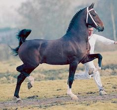 Dutch Harness Horse. Their studbook is kept by the Koninklijk Warmbloed Paardenstamboek Nederland (Royal Warmblood Horse Studbook of the Netherlands) or KWPN. The breed is based on the native Groningen and Gelderland horses, which were formerly indispensable in agriculture and transportation services.