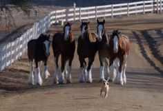 """Prepare to laugh, cry and say """"aaaaahhhh"""" all at the same time. This year's Budweiser beer spot, airing during Sunday's Super Bowl broadcast, again Pretty Horses, Horse Love, Beautiful Horses, Animals Beautiful, Clysdale Horses, Draft Horses, Breyer Horses, Clydesdale Horses Budweiser, Budweiser Commercial"""
