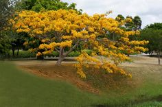 Yellow Flamboyan