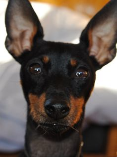 Looks like Weinie!   bat dog!, /Manchester Terrier / English Toy Terrier / Black and Tan #Terrier #Dogs #Puppy