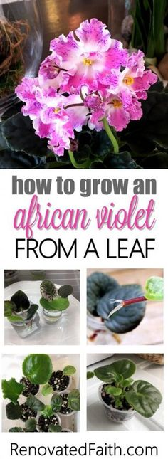 The Best Method To Grow An African Violet From A Leaf What I love most about African violets is starting out baby plants from leaves. It is exciting to see tiny leaves pop up from a leaf and eventually bloom for the first time! Container Plants, Container Gardening, Indoor Gardening, Bucket Gardening, Growing Flowers, Planting Flowers, Violet Plant, Flower Pot Design, Propagating Succulents