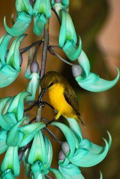 hummingbird on a Jade vine Pretty Birds, Love Birds, Beautiful Birds, Beautiful Places, Jade Vine, All Gods Creatures, Colorful Birds, Colorful Flowers, Little Birds