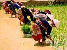planting rice in Sapa