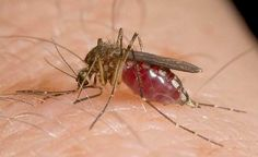 #This year's first human case of West Nile virus in Columbus reported - Columbus Dispatch: Columbus Dispatch This year's first human case…
