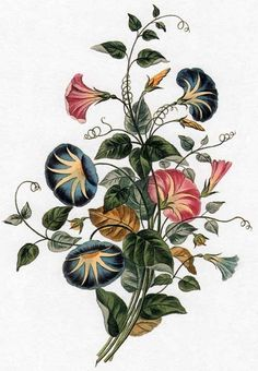 ehret flowers | Picturing Plants and Flowers: George Brookshaw, Convolvulus