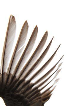 junco wing (mary jo hoffman)