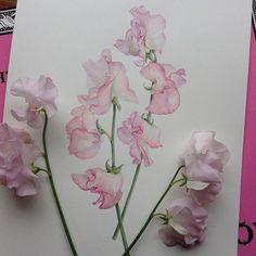 #sweetpea #botanicalart #watercolor #watercolour #flowerpainting #Regram via @kyoko_botanical
