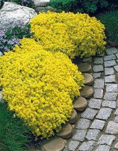 Big sale rare ROCK cress bonsai Climbing plant Creeping Thyme flores Perennial Ground cover flower for home garden Flowers Perennials, Planting Flowers, Flower Plants, Outdoor Plants, Outdoor Gardens, Perennial Ground Cover, Best Ground Cover Plants, Succulent Ground Cover, Sedum Ground Cover