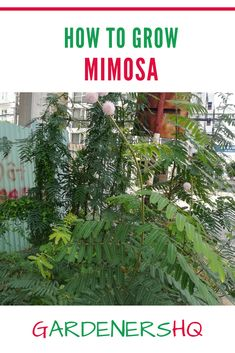 Advice on Growing Mimosa pudica, also known as the Sensitive Plant, Zombie Plant, Touch-me-not, or Shy Plant in Your Garden. Summer Plants, Tropical Plants, Summer Flowers, Wild Flowers, Different Plants, Types Of Plants, Get Rid Of Spiders, Growing Peas, Patio Cooler
