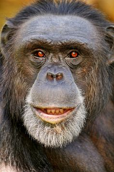 Portrait of the male chimpanzee by Tambako the Jaguar, via Flickr