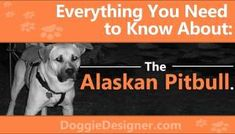 Are you looking for a dog that can offer companionship with the right measure of smarts while still protecting your family? Then the Alaskan Pit Bull is ideal. Husky Corgi, Siberian Husky Mix, Alaskan Malamute, Pitbulls, Shiba Inu, Personality, Pictures, Facts, Photos