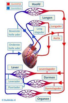 Schema bloedsomloop