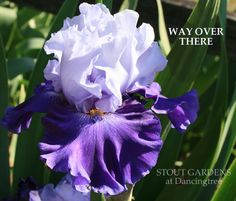 TB Iris germanica 'Way Over There' (Nichols, 2007)