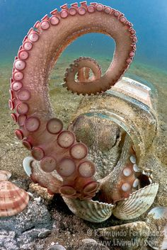 Clepto Octopus by Rai Fernandez, via Flickr.....the octopus it's such an incredible creature!!!!!
