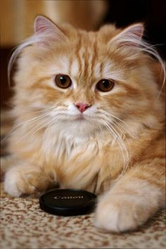 by Nikolay Shopov, via I love ginger cats Cute Cats And Kittens, Cool Cats, Kittens Cutest, Ragdoll Kittens, Bengal Cats, White Kittens, Black Cats, Pretty Cats, Beautiful Cats