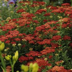 Tips for dividing perennials
