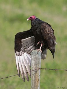 Turkey Vulture  Bird     The Turkey vulture(Cathartes aura) also known in some North American regions as the turkey buzzard, and in some areas of the Caribbean as the John crow or carrion crow, is the most widespread.