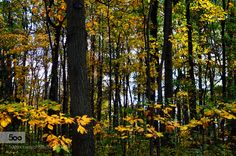 Yellow forest by andreae #nature