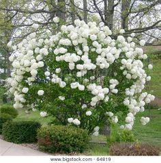 snowball bush- My Grandma has these in her backyard and I have always adored them. Can't wait to plant a few in my backyard. Have to have them!